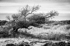tree (Jen MacNeill) Tags: assateague tree lone park nationalpark dune dunes