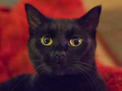 IMG_7658 (BalthasarLeopold) Tags: animal animals blackcat blackcats cat cateyes cats closeup dephtoffield dof feline felines indoorcat kitten kittens leopold mammal pet pets