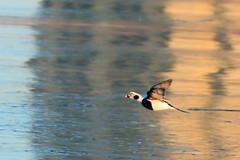 A joyful morning flight (Daniel Q Huang) Tags: bird duck flying sunrising light lake water outdoor reflection