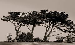 _13L5236 (5816OL) Tags: california2013 pacificgrove