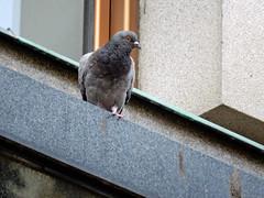 Townpigeon in Wenceslas Square (Dunnock_D) Tags: czechia czechrepublic prague wenceslassquare square václavskénáměstí pigeon bird perched ledge building townpigeon