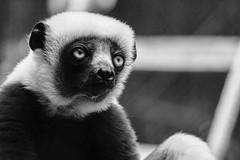 (Light Echoes) Tags: sony a6000 2016 summer july philadelphiazoo zoo philadelphia mammal primate lemur sifaka madagascar