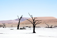 Dead trees (kneelz) Tags: dunes landscape desert serene noon dead seasons blue timeofday claypan pink objects expanse colors namibnaukluftnationalpark africa elements lightbrown peaceful namibia earth moods deadvlei fall namibdesert tree deserted sky relaxed cold descriptors lightblue white dune landscapes midday trees