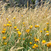 Wildflowers and native grass