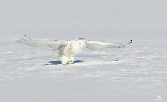 Harfang des neiges - Snowy owl - Bubo scandiacus (Maxime Legare-Vezina) Tags: bird oiseau owl nature wildlife animal winter hiver quebec canada canon