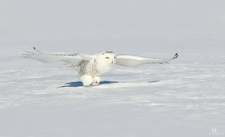 Harfang des neiges - Snowy owl - Bubo scandiacus