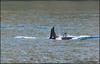 e DSC_3081 20150823 (Selena Rhodes Scofield Photography) Tags: pugetsound whales orca sanjuanislands killerwhales orcinusorca jpod blackfish salishsea j19 southernresidentkillerwhales srkw saveoursalmon selenarhodesscofieldphotography