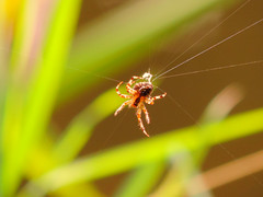 Spinning Her Web (Nomadic074) Tags: nature reeds spider bokeh spinning spidersweb nottinghamshire chesterfieldcanal