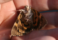 Underwing Moth (Serene underwing?), in Staten Island, New York, USA. August, 2015 (Tom Turner - NYC) Tags: nyc usa newyork nature insect unitedstates wildlife moth statenisland winged bigapple tomturner catocala underwinged