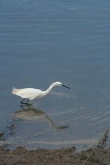 Bird reflections (sven_ali) Tags: sea summer england food white bird beach water sunshine reflections sand norfolk beak feathers wells ripples feed