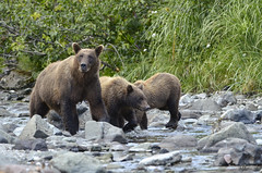 Mother and cubs (Travel4Two) Tags: bear usa brown alaska cubs c2 sow 2015 katmai s0 5000k adl3