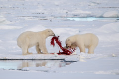 Polar Bears on kill (fascinationwildlife) Tags: bear sea wild ice nature animal norway mammal high kill wildlife natur norwegen arctic pack seal polar predator bearded spitsbergen spitzbergen pred bartrobbe