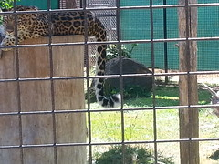 20150919_123823 (mjfmjfmjf) Tags: oregon zoo 2015 greatcatsworldpark