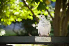 Not the only friend of Central Park (Huey Yoong) Tags: park city nyc newyorkcity autumn urban tree bird fall dedication america bench dof bokeh centralpark manhattan pigeon unitedstatesofamerica naturallight northamerica eastside hbw nikond600 happybokehwednesday nikkor28300mmvr