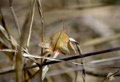 / Lythria purpuraria / Purple-barred Yellow / Knterich-Purpurspanner (katunchik) Tags: geometridae  butterfly  schmetterling   bulgaria bulgarien bulharsko taxonomy:family=geometridae taxonomy:binomial=lythriapurpuraria geo:country=bulgaria