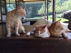 2015-10-26 08.54.29 (pang yu liu) Tags: travel animal cat 10 oct homestay 動物 貓 阿里山 旅遊 alishan 2015 民宿 十月 mimiyo