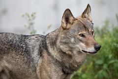 Eurasian wolf (Reinfox) Tags: park portrait animal canon mammal is wolf x ii tama planet usm eurasian animalplanet 動物 eos1d zoological canislupus 多摩動物公園 tamazoo f28l tamazoologicalpark 狼 1dx ef300mm canislupuslupus eurasianwolf オオカミ 哺乳類 ヨーロッパオオカミ canonef300mmf28lisiiusm ef300mmf28lisiiusm canoneos1dx eos1dx