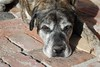 Lily (neefer) Tags: dogs lily englishmastiff mastiff