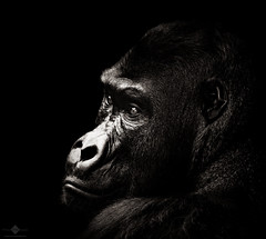 Gorilla (chmeermann | www.chm-photography.com) Tags: portrait photoshop tiere nikon gorilla nikkor lowkey affen lightroom 70300 colorkeying menschenaffe selectivecoloring zooleipzig schwarzweis querformat d7100 silverefexpro2