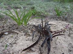 Ledebouria sp. Chuiba 1 (tonrulkens) Tags: bulb mozambique pemba naturalhabitat ledebouria hyacinthaceae cabodelgado chuiba