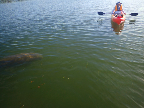 A friendly manatee comes up to say hello.