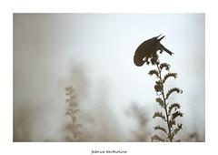 Linotte mlodieuse (bertholino fabrice) Tags: bird nature oiseau environnement biodiversit nikond600 linottemlodieuse baiedesaintbrieuc fabricebertholino tamron150600f63
