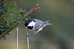 COAL TIT (merseymouse) Tags: nature birds tits coaltit