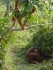 Orangutans (Animal People Forum) Tags: rescue project indonesia wildlife palm borneo oil orangutan ape primate greatape rehabilitation palmoil wildliferehabilitation samboja lestari