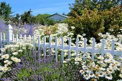 Cottage Garden (Patricia Henschen) Tags: flowers white flower festival washington lavender sequim farms tours picketfence shastadaisy explored oliverslavenderfarm