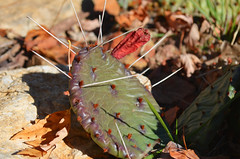 Prickly pear fruit (U.S. Fish and Wildlife Service - Midwest Region) Tags: prairie kansas city cactus fall seasons flower plant missouri mo autumn