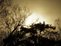 Astounding shapes (alex.gb) Tags: sun fog mist shape astounding tree tamarisk pine sunset