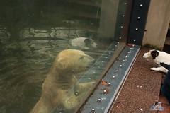 Tierpark Berlin 26.12.2017 027 (Fruehlingsstern) Tags: eisbär polarbear wolodja rothund nashorn stachelschwein tierparkberlin canoneos750 tamron16300