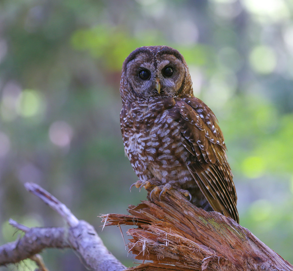 research paper on the northern spotted owl Research paper on the northern spotted owl we guarantee that our papers are plagiarism-free each order is handcrafted thoroughly in accordance to your personal.