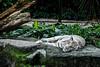 (W4115y) Tags: singapore singapore2015 nikon nikond3200 nature w4115y walls animal animals zoo singaporezoo tiger tigers whitetiger