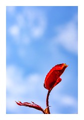 Leaf The Blue Skies to Me (red stilletto) Tags: oceangrove bellarinepeninsula rose roseleaves redleaves bluesky