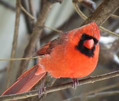 Northern Cardinal (mahar15) Tags: cardinal birds outdoors wildlife nature malecardinal malenortherncardinal northerncardinal
