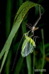 Katydid (Tettigoniidae) - DSC_9098 (nickybay) Tags: macro chestnutavenue singapore katydid tettigoniidae moulting