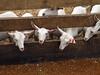 Fenceline feeding (baalands) Tags: new zealand dairy goats fenceline feed feeder grain