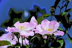 Summer Rose! (maginoz1) Tags: bstract art manipulate contemporary flowers grain butterfly summer january 2017 bullarosegardenalisterclarkmemorialgarden bulle melbourne victoria australia canon g3x