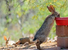 Desert Cottontail Rabbit (Sylvilagus audubonii) at the back yard bird bath, shadowed by an observer. (troupial) Tags: desertcottontailrabbit rabbit rabbits desertcottontail arizonawildlife wildlifeofarizona pimacounty pimacountyarizona sylvilagusaudubonii