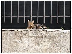 gatto appisolato (pratolina 17 ❀) Tags: gatto gatti felini animali fauna