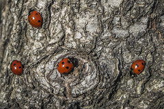 Waiting (Siminis) Tags: siminis heraklio crete greece tree treebark ladybugs ladybug ladybird ladybeetle waiting