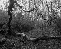 Distorted tree lying across a path (Hyons Wood) (Jonathan Carr) Tags: tree abstract abstraction landscape rural northeast black white bw largeformat 4x5 5x4 toyo45a monochrome decay path