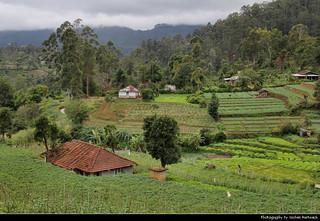 Tea plantations, Boralanda, Sri Lanka