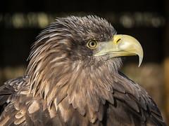 White-tailed Eagle (Maria-H) Tags: england unitedkingdom gb whitetailedeagle haliaeetusalbicilla gauntlet birdofpreycentre cheshire uk olympus omdem1markii panasonic 100400
