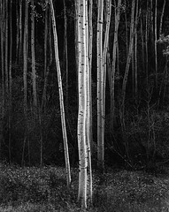 Ansel Adams (Peer Into The Past) Tags: blackandwhitephotography peerintothepast history vintage 1958 nature trees aspens newmexico anseladams