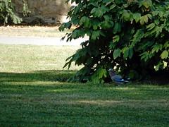 Jay, 2016 Aug 27 -- photo 5 (Dunnock_D) Tags: czechia czechrepublic prague garden gardens bird jay lawn royalgarden královskázahrada malástrana lessertown