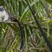 Geoffroy's tamarin monkey - wild titi monkeys gamboa panama pandemonio 2017 - 17