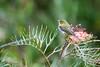 Zostérops à dos gris (Philippe Lécuyer) Tags: australieoccidentale wa canon7dmarkii bird20iocreplaceoldbirdlist nature oiseau avifauna wildlife bird silvereye australia zosteropidae zosteropslateralis