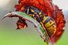 Vespula germanica (Sebastián Jiménez López) Tags: canon 7dmk2 macrophotography macro naturallight focusstacking zerene reversedlens konicahexanon40mm extensiontubes wasp vespula vespulagermanica hymenoptera